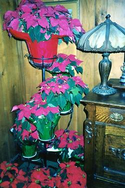 The Depot - Interior Poinsettias